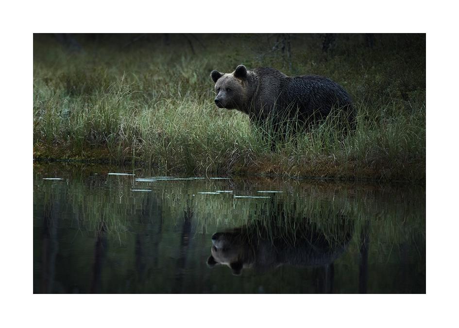 Björn vid sjön