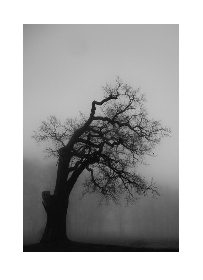 träd i dimman